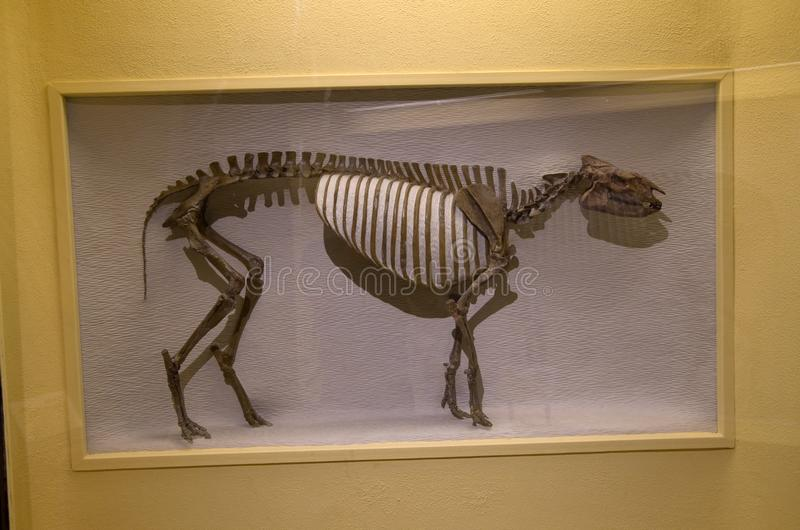 Mus?e de Harvard de squelettes de dinosaure d'histoire naturelle image stock