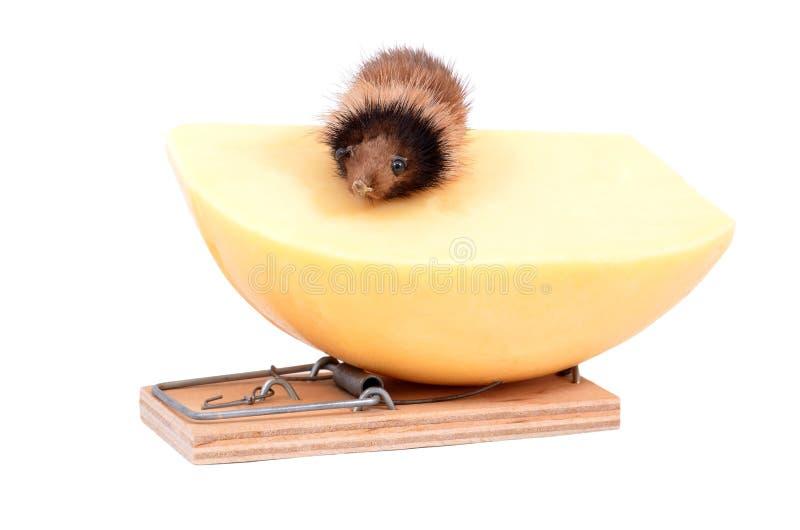 Mus och ost i klapp arkivfoton