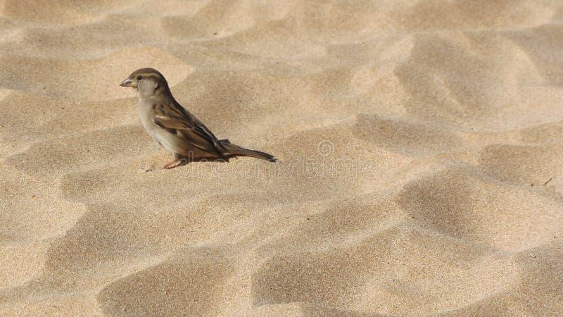 Mus, vink op zacht zand in Hawaï stock fotografie
