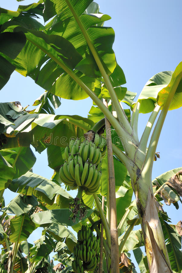 Musa acuminata banan zdjęcie royalty free