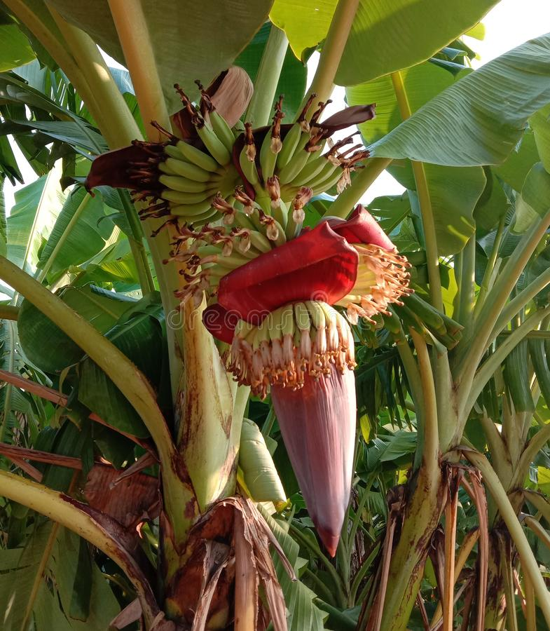Free Musa Acuminata Flower Is The Inflorescence Of Banana Trees Closeup. Royalty Free Stock Images - 165651029