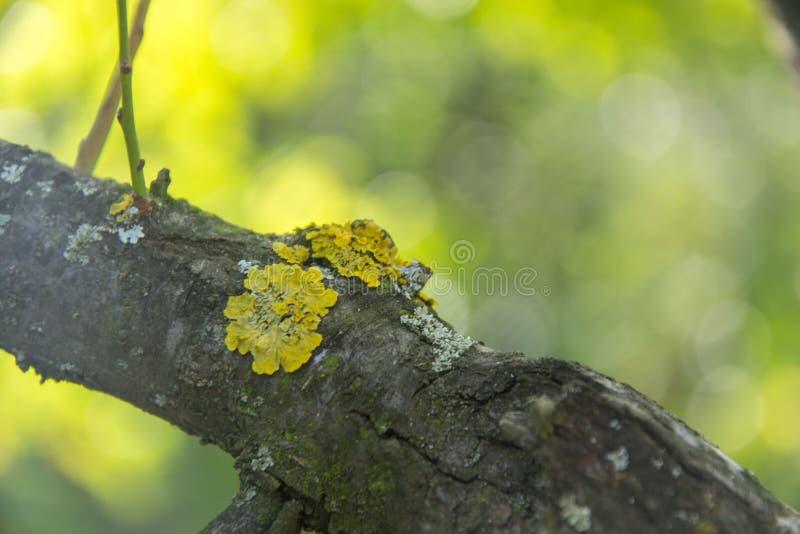 Musa amarela em uma árvore antiga na floresta, foco seletivo, casca com musgo, conceito da natureza imagens de stock