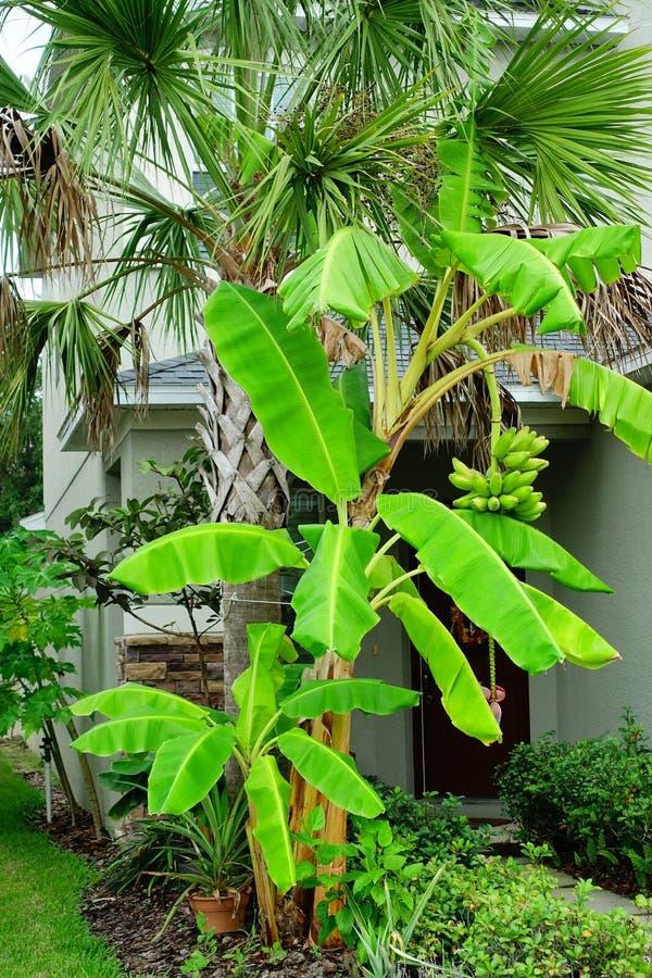 Free Musa Basjoo, Japanese Banana Tree Stock Photo - 130506660