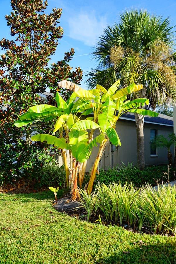 Free Musa Basjoo, Japanese Banana Tree Royalty Free Stock Photography - 134807017