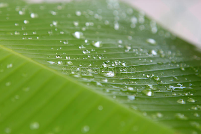 Musa sp. Banana Leaf with water droplet drop dew royalty free stock photos