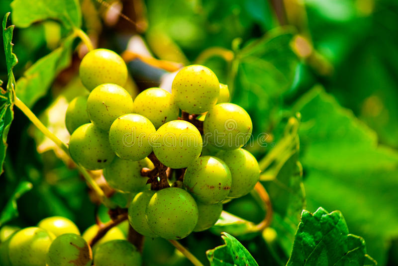 Muscadine Grapes royalty free stock photography