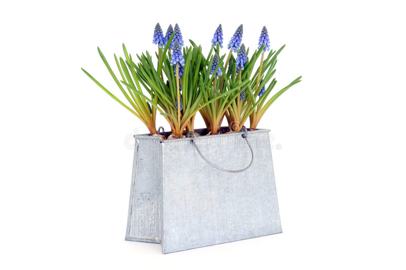 Download Muscari Royalty Free Stock Images - Image: 4551229