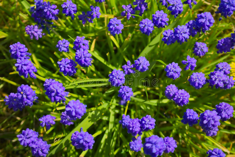 Muscari images stock