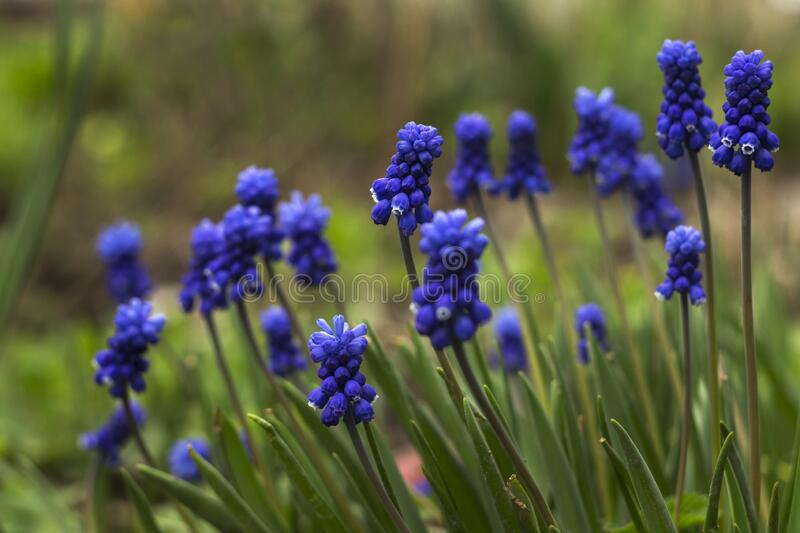 Muscari armeniacum, blue grape hyacinths is a perennial bulbous plant. Floral pattern, beautiful spring flowers in the flowerbed,. Blurred background royalty free stock photography
