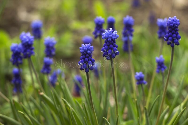 Muscari armeniacum, blue grape hyacinths is a perennial bulbous plant. Floral pattern, beautiful spring flowers in the flowerbed,. Blurred background royalty free stock images