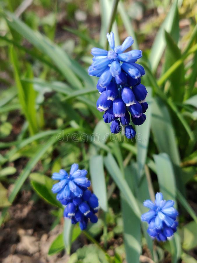 Muscari armeniacum botryoides or grape hyacinth royalty free stock photos