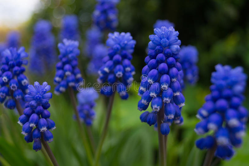 Muscari armeniacum botryoides or grape hyacinth stock image