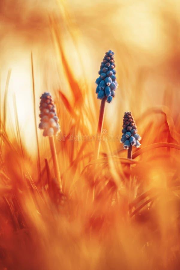 Muscari armeniacum mit warmem träumerischem backround stockfoto