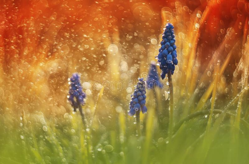 Muscari Armeniacum in watter drops stock images