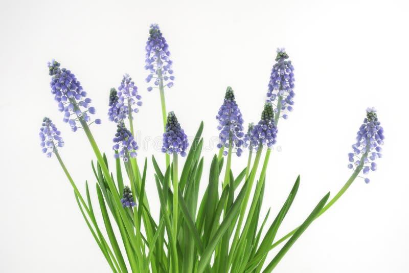 Muscari blommor royaltyfria foton