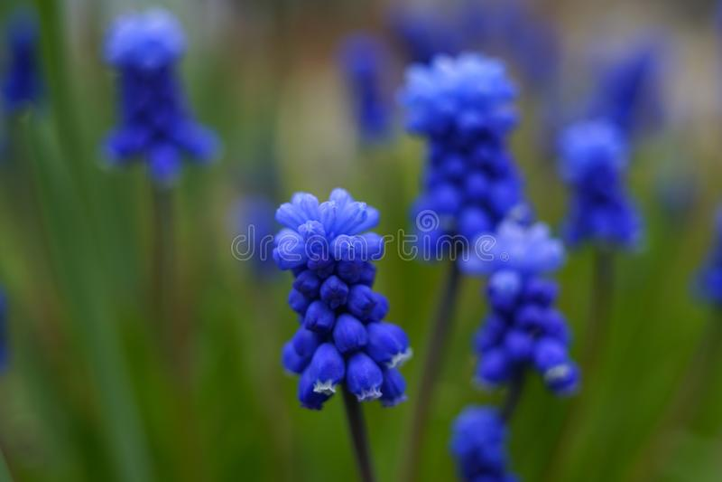 muscari blue flower green background garden nature close-up stock photos