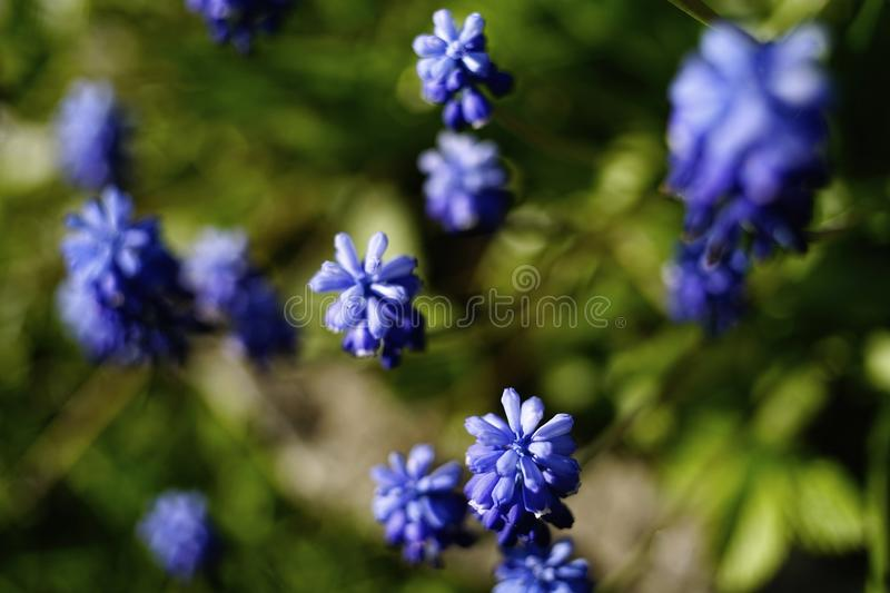muscari blue flower hyacinth sunlight close-up garden nature royalty free stock images