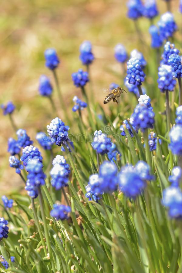 Muscari blue flowers and a flying bee collect honey stock photos