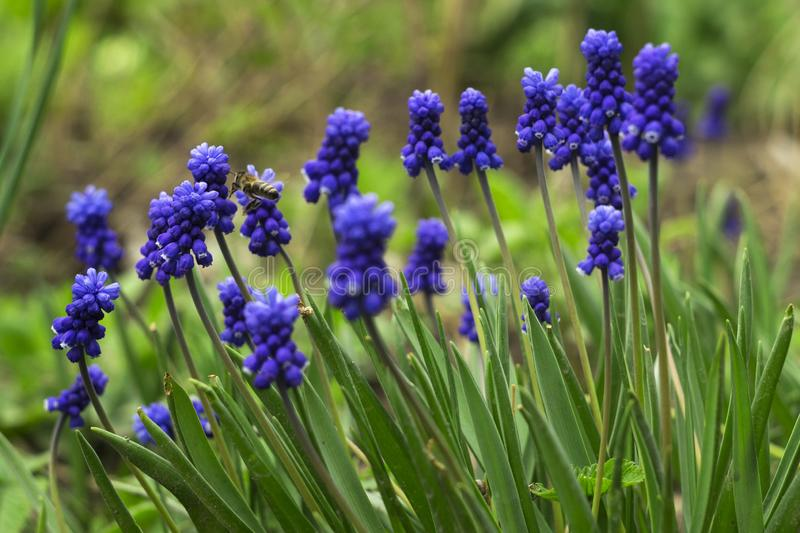 Muscari - blue Grape hyacinth. Spring flowers with bee. Muscari armeniacum plant with blue flowers royalty free stock photos