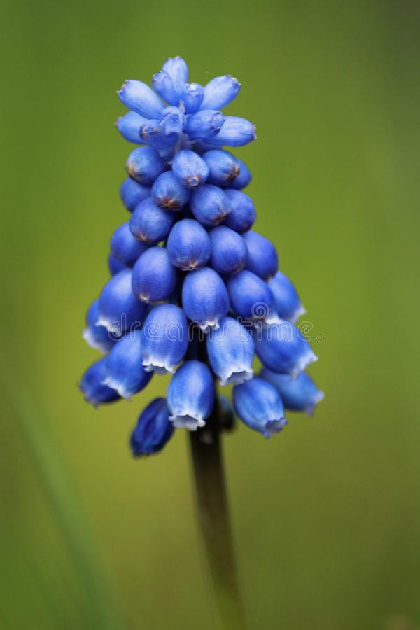 Muscari botryoides royalty-vrije stock foto