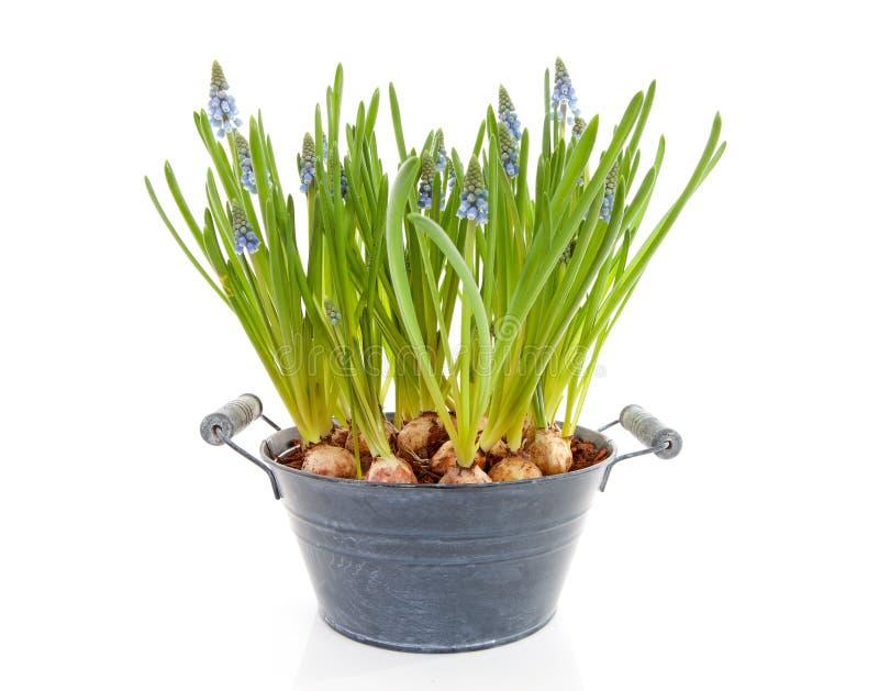 Muscari botryoides flowers ( blue grape hyacinth) royalty free stock image