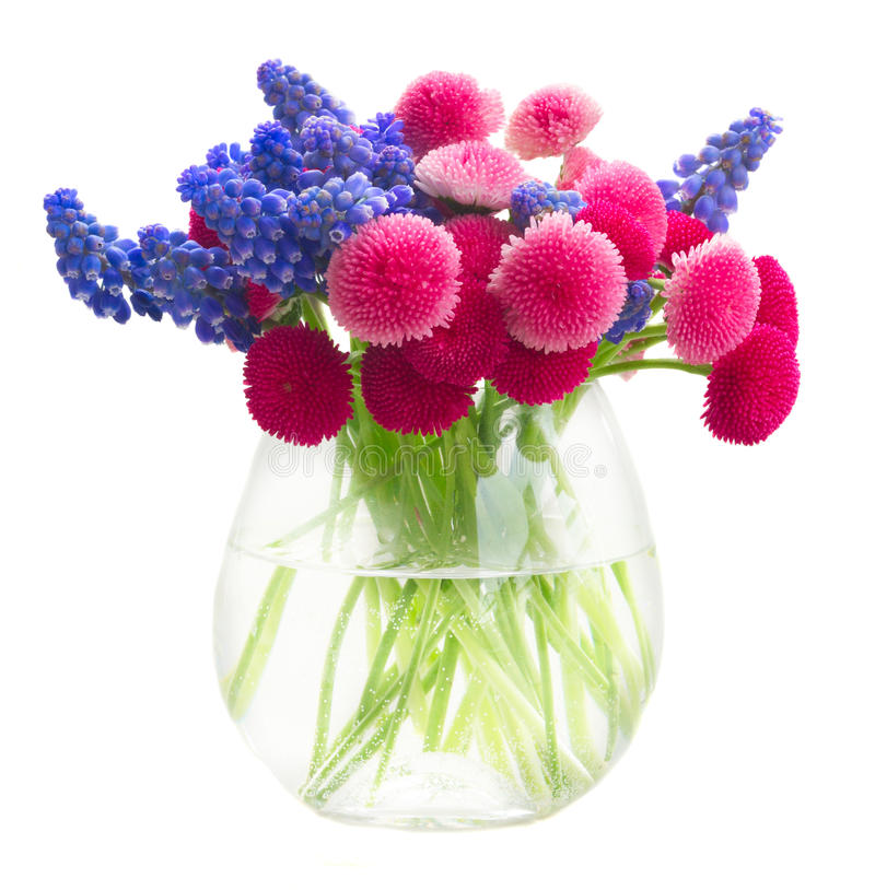 Muscari and Daisy Flowers. In glass vase isolated on white background royalty free stock photography