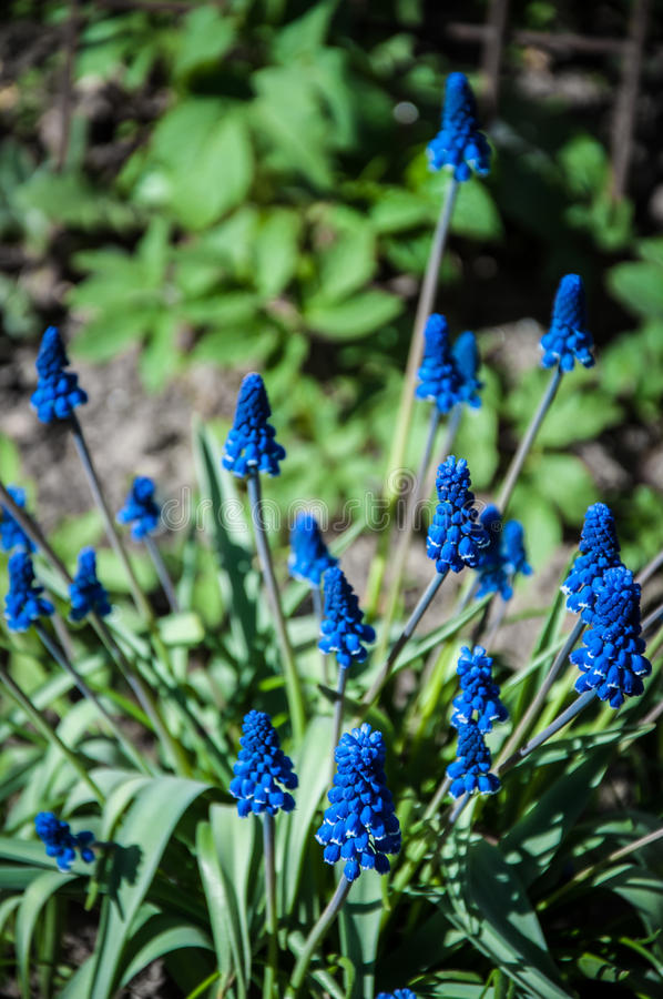 Muscari de la primavera foto de archivo libre de regalías