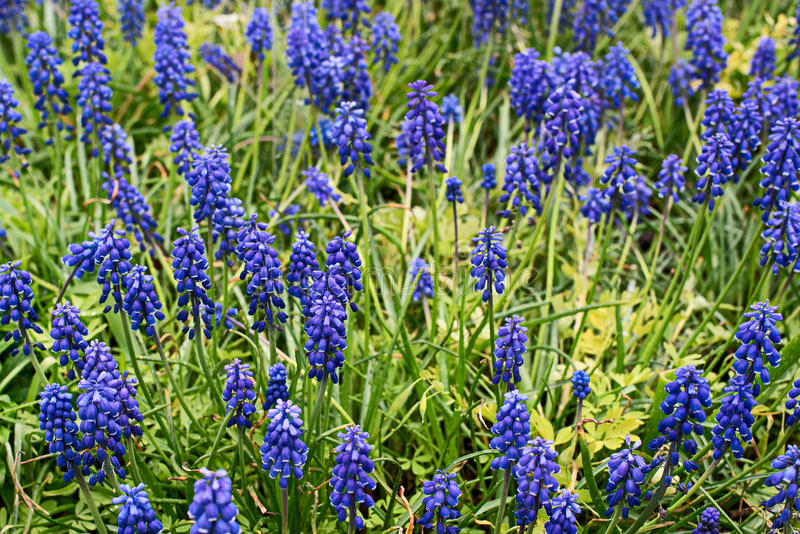 Muscari eller murine hyacint arkivbild