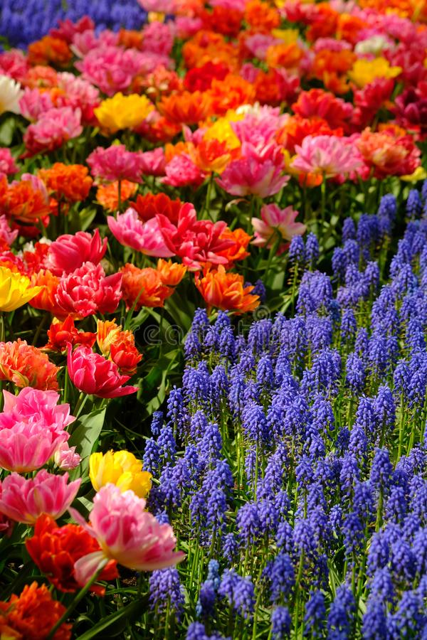 Muscari flowers and colorful tulips bloom at Keukenhof in Netherlands royalty free stock image