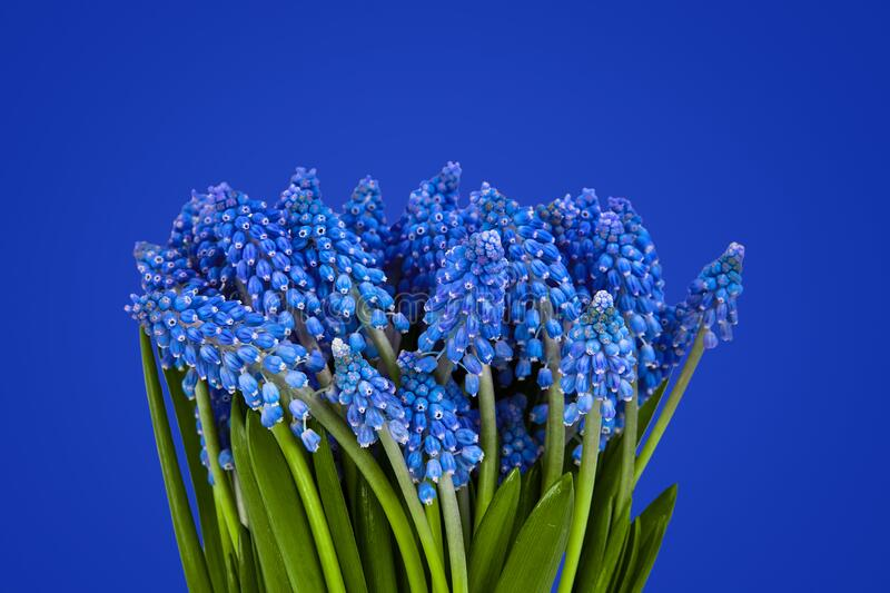 Muscari flowers isolated on blue background royalty free stock photos