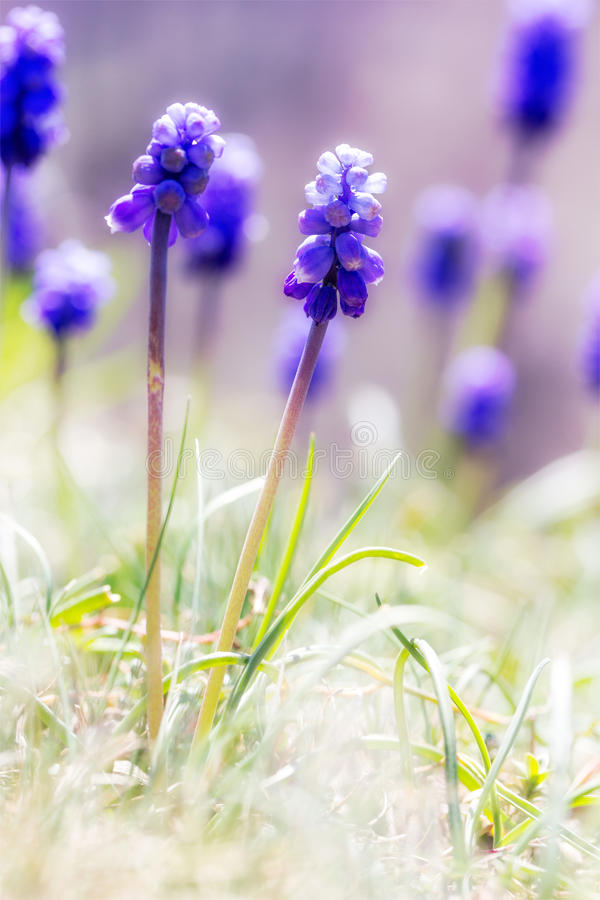Muscari flowers on the sunlit meadow. selective focus stock image