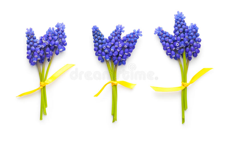 Muscari Flowers on White Background stock image