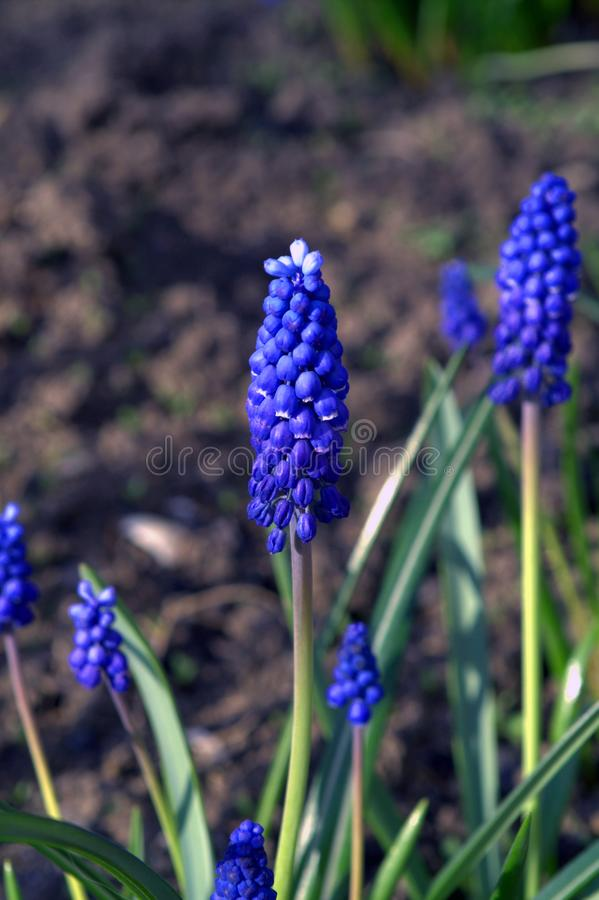 Muscari is a genus of perennial bulbous plants native to Eurasia. That produce spikes of dense, most commonly blue, urn-shaped flowers resembling bunches of stock image