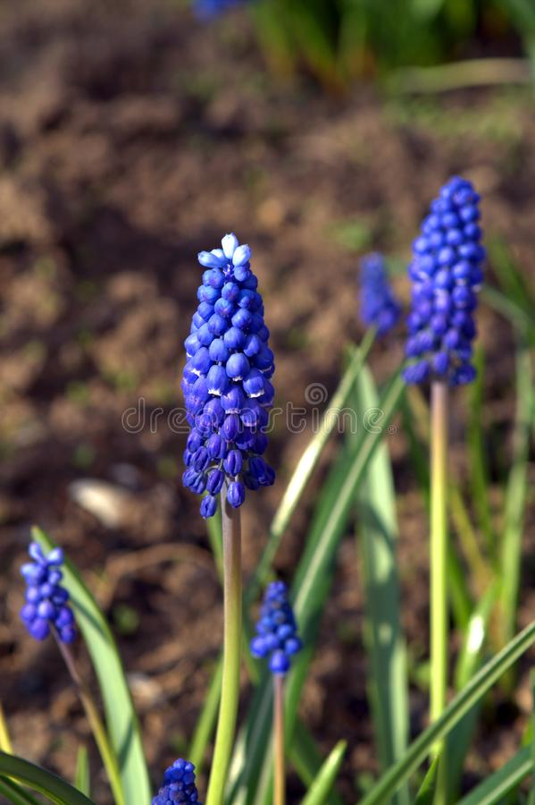 Muscari is a genus of perennial bulbous plants. Native to Eurasia that produce spikes of dense, most commonly blue, urn-shaped flowers resembling bunches of stock photography