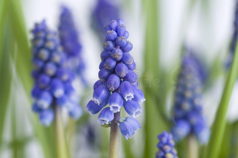 Muscari or grape hyacinth stock photo