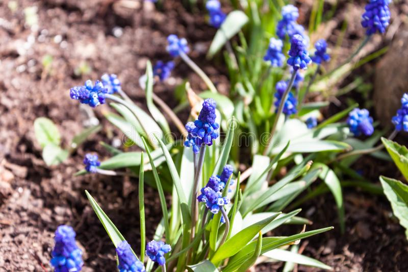 Muscari grape hyacinth blue flowers close up macro photo on nature ground background. Spring concept royalty free stock image