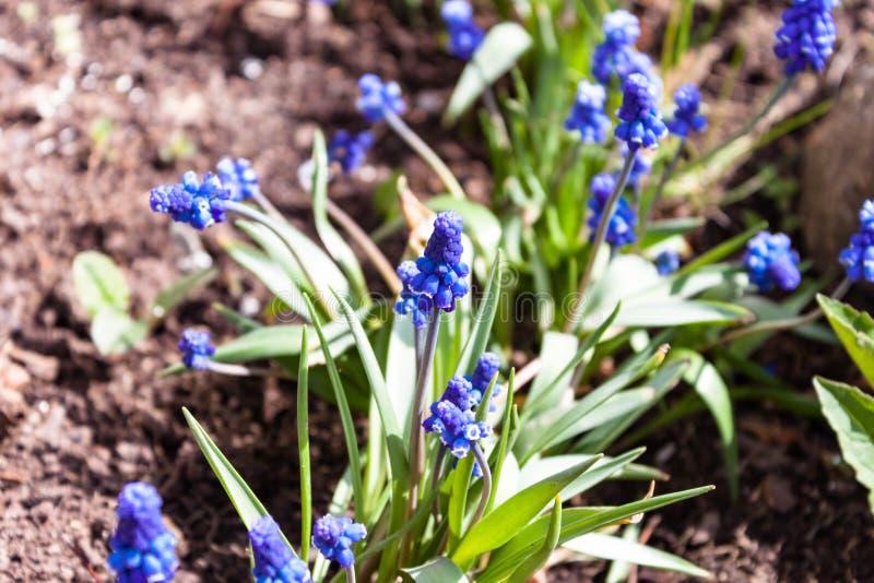 Muscari gronowego hiacyntu błękitni kwiaty zamykają w górę makro- fotografii na natury zmielonym tle przeciw t?a poj?cia kwiatu w obraz royalty free