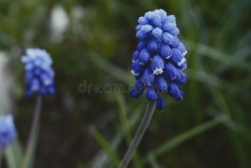 muscari hyacinth blue flower green leaf close-up garden stock photo