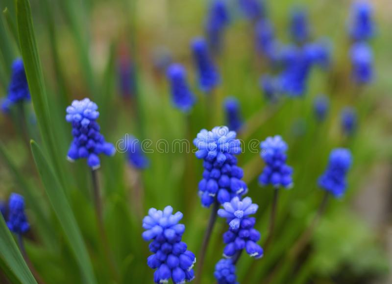 Muscari hyacinth blue flower green leaf textured macro close-up outdoors nature garden day. Summer spring stock images