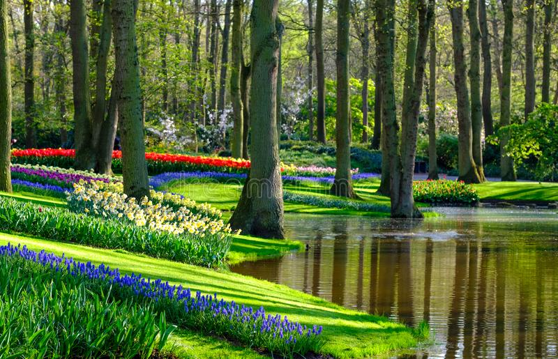 Muscari hyacinths and tulips by the lake at Keukenhof Gardens, Lisse, South Holland. Photographed in HDR high dynamic range. royalty free stock photo