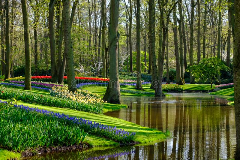 Muscari hyacinths and tulips by the lake at Keukenhof Gardens, Lisse, South Holland. Photographed in HDR high dynamic range. royalty free stock photos