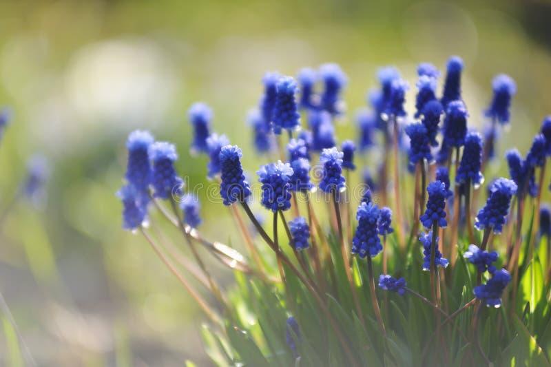 Muscari kwiaty zdjęcia stock