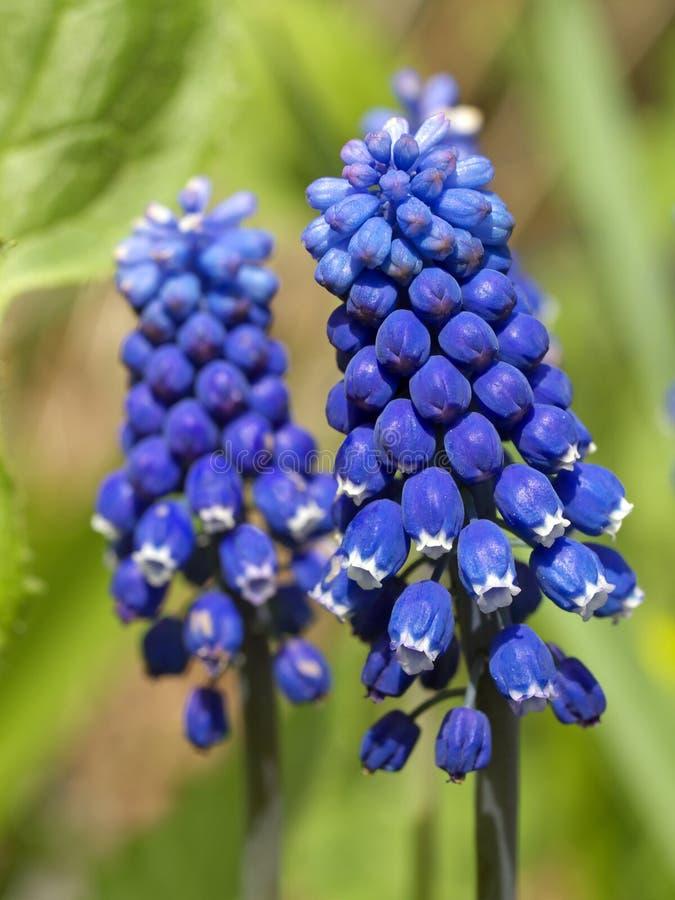 muscari niebieski zdjęcia stock
