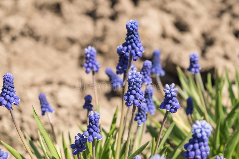 muscari niebieski Wiele muscari błękit kwitnie w zieleni Wiosny muscari kwiaty Piękna Błękitna wiosna wakacje natura zdjęcia stock