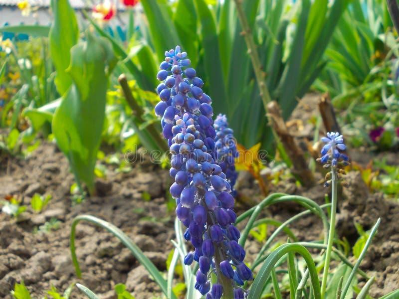 Muscari på blomsterrabatten royaltyfri fotografi