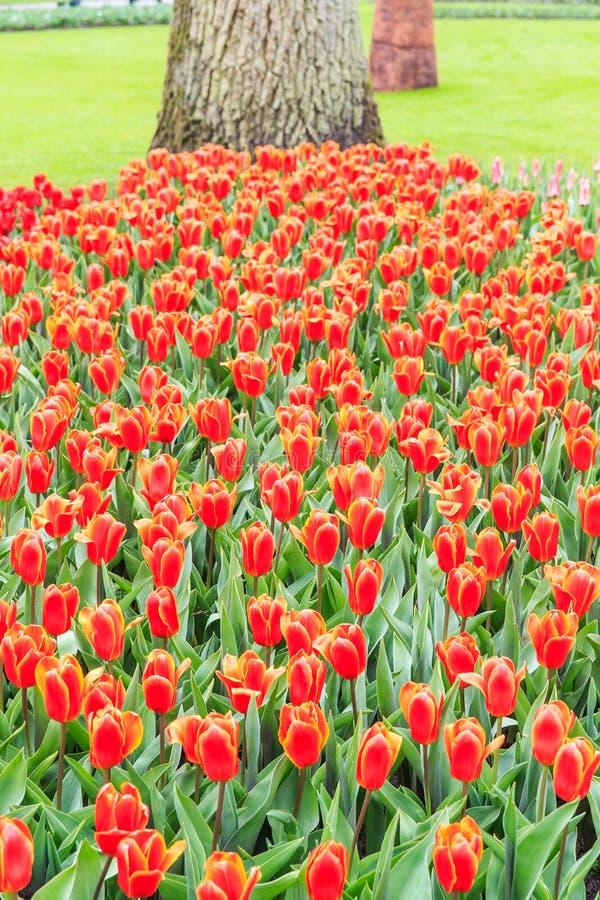 Muscari rojo hermoso en los jardines de Keukenhof foto de archivo libre de regalías
