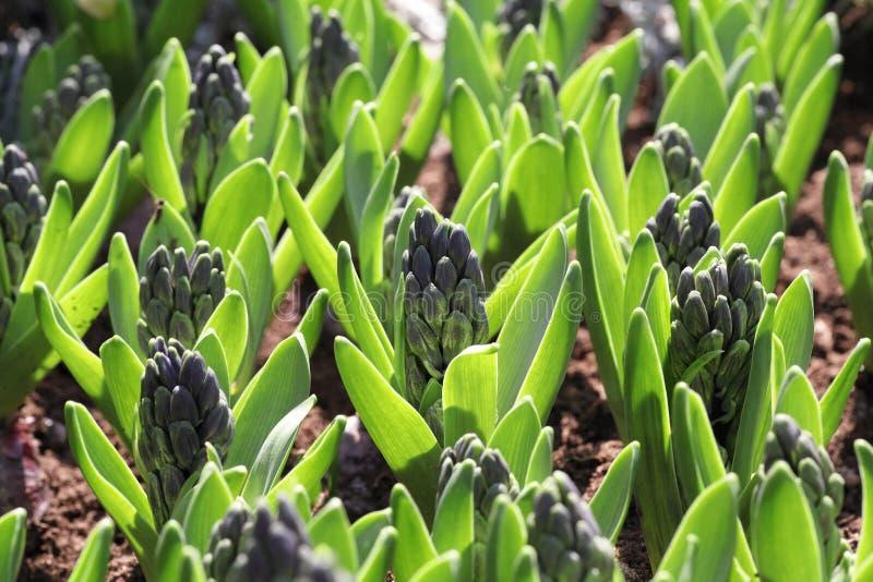 Muscari Seedling stock images