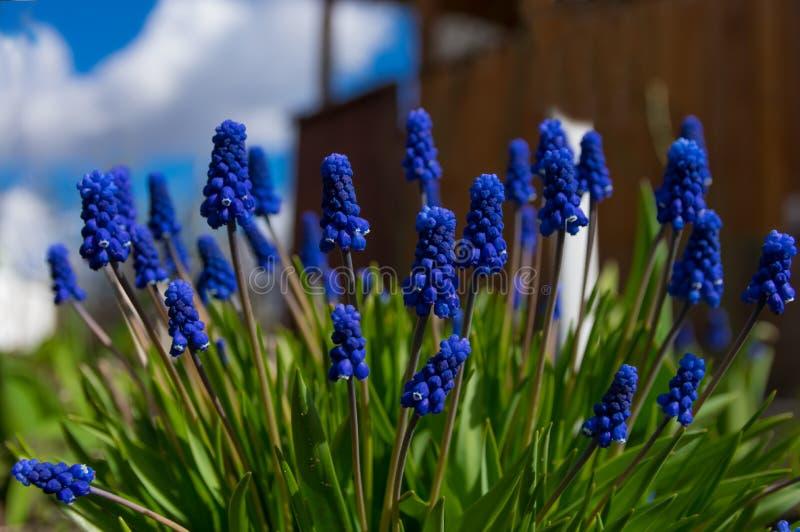 Muscari w g?r?, b??kit, purpura kwiaty Odwiecznie bączaste rośliny fotografia royalty free