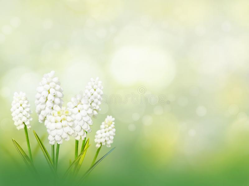 Muscari white flowers spring background royalty free stock photography