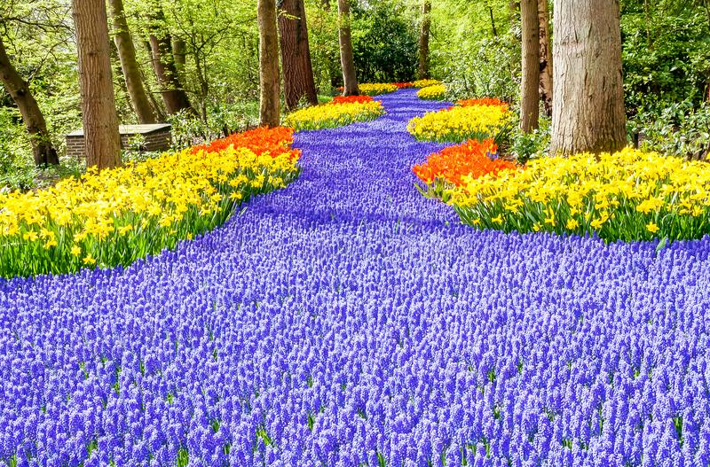 Muscari between yellow daffodils stock photos